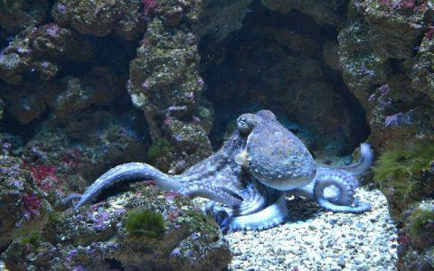 Hobotnica - tri srca i plava krv jednog poznatog ovozemaljca