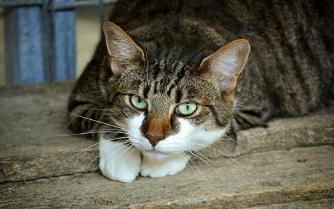 Mačka sa sedam života
