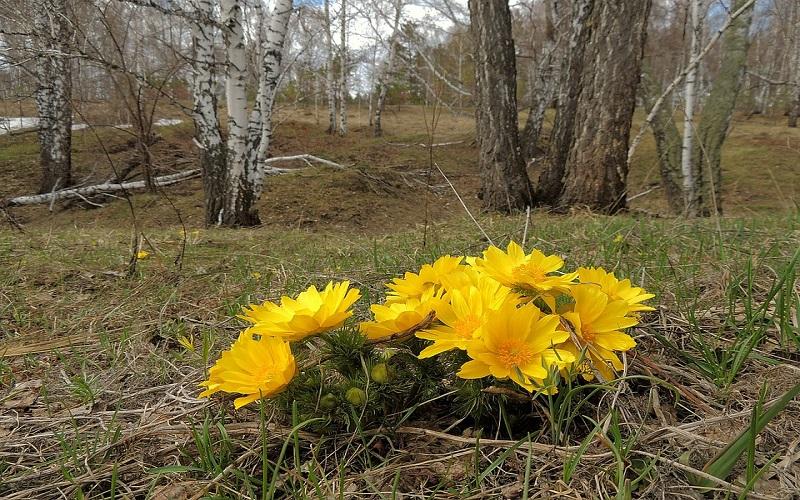 Najljepše cvijeće u prirodi - Adonis ili gorocvijet