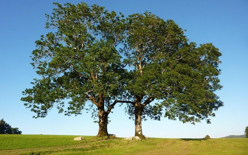 Slike za pozadinu - drvo Jasen