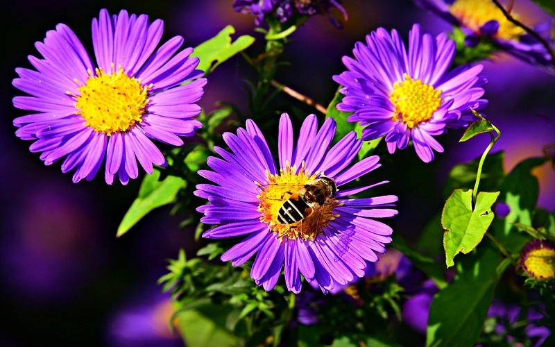 Cvijeće za vrt - Zvjezdan ili Aster