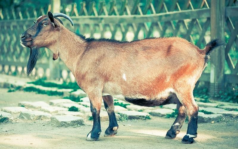 Domaće životinje koze