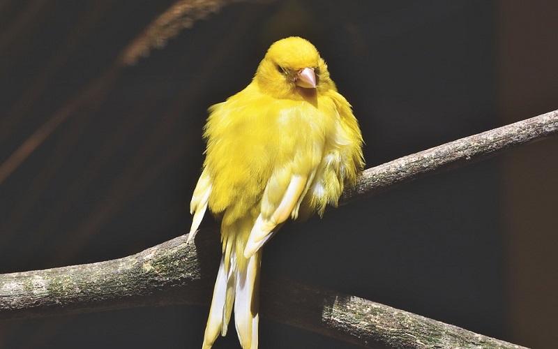 Domaće životinje - Kanarinac