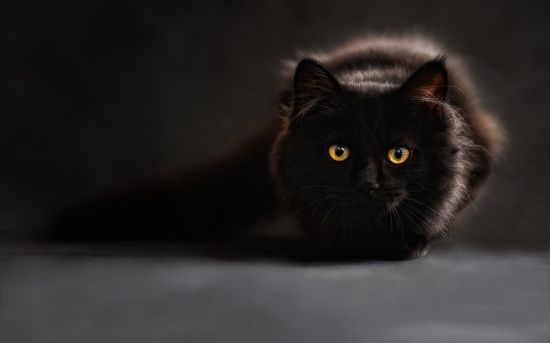 Domaća mačka
