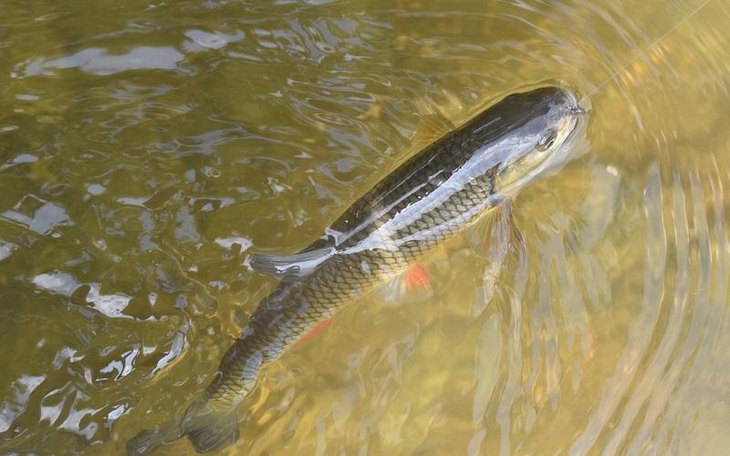 Slatkovodne ribe - Klen