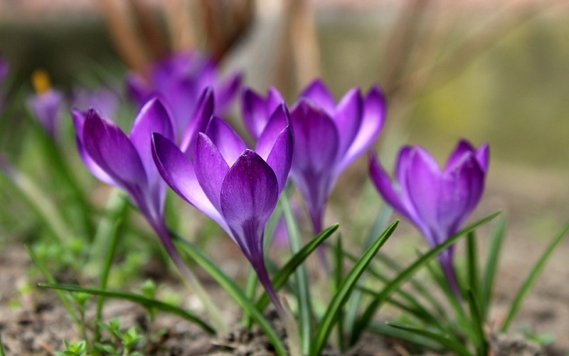 Najljepše cvijeće u prirodi - Šafran