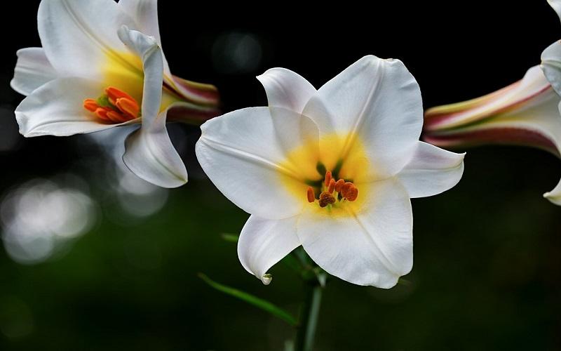 Divlje cvijeće - Ljiljani
