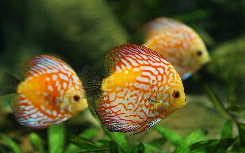 Akvarijske slatkovodne ribe