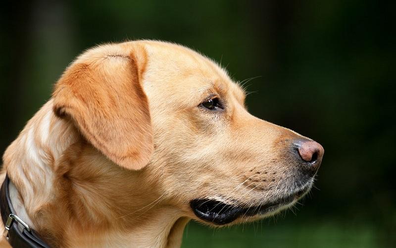 Domaće životinje - Pas