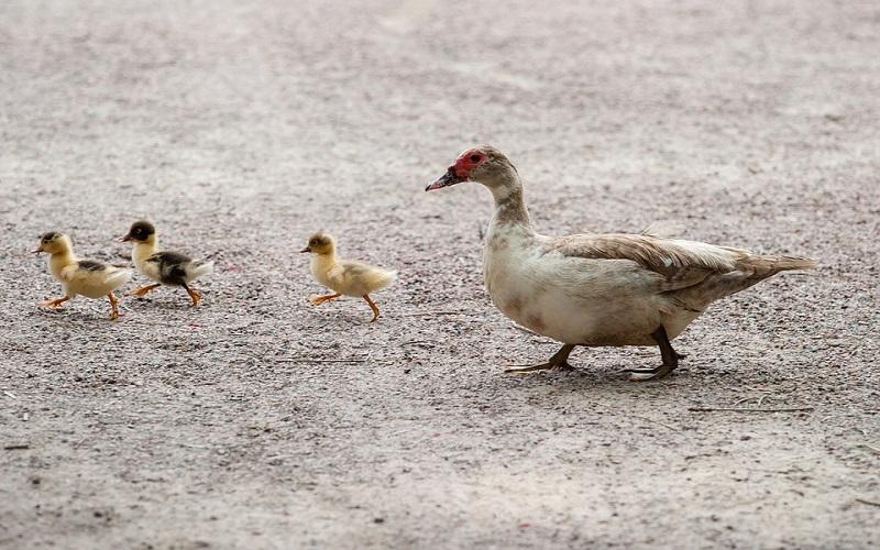 Domaće patke