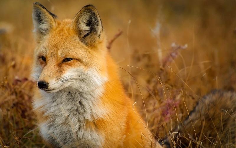 Slike životinja - lisica