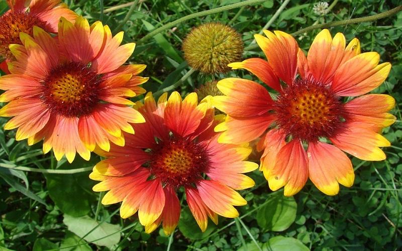 Lijepo cvijeće za vrt - Gaillardia