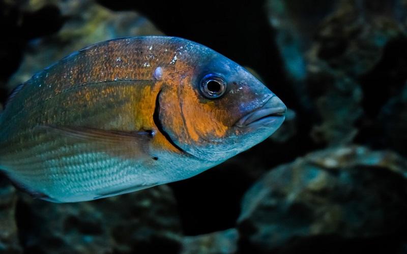 Slatkovodne ribe - Deverika