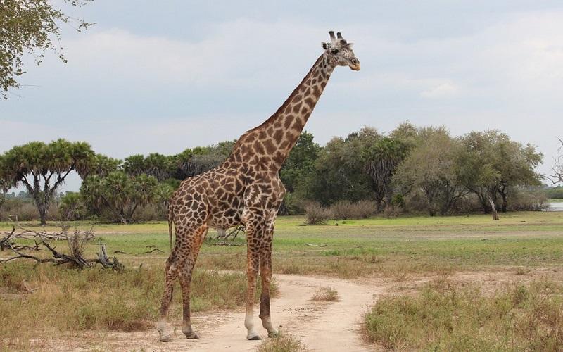 Divlje životinje - Žirafe