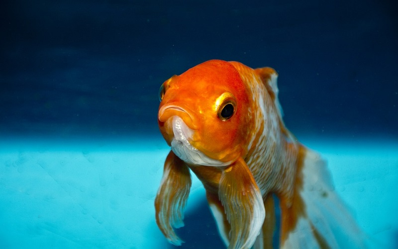 Slatkovodne ribe - Zlatna ribica