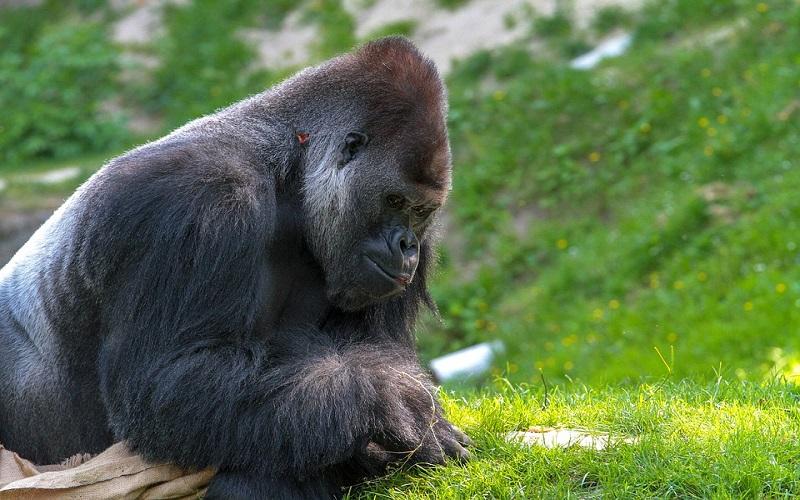 Divlje životinje - Gorile