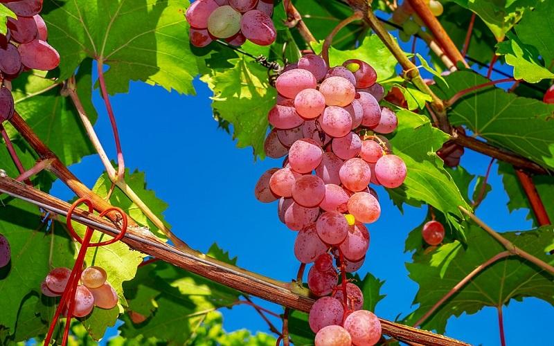 Slike za pozadinu - grožđe