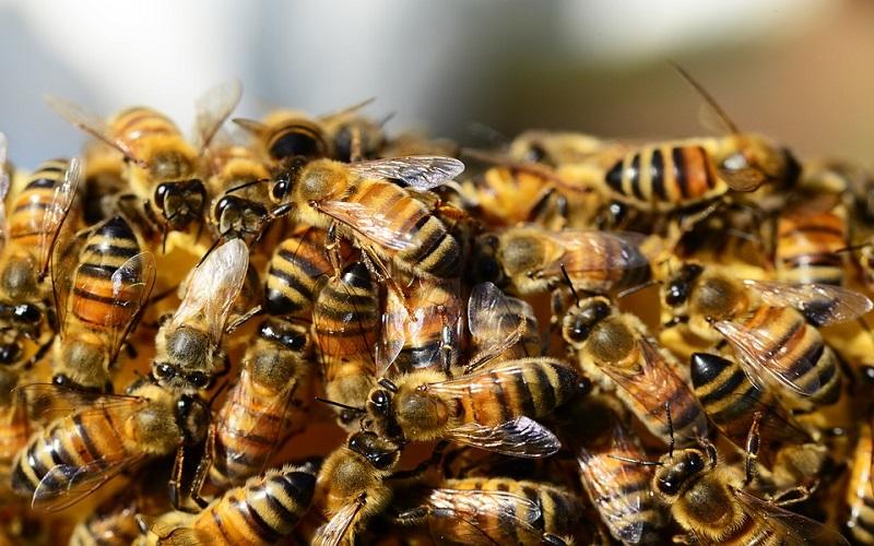 Domaće životinje pčele