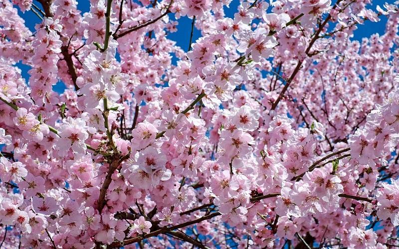 Fotografije prirode u proljeće - japanske trešnje