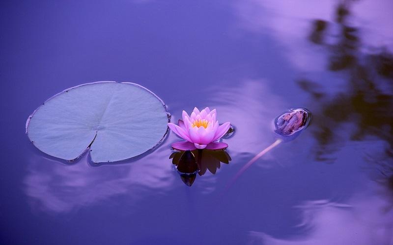 Slike za pozadinu - cvijet Lotos