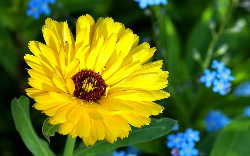 Najbolje cvijeće za vrt - Neveni