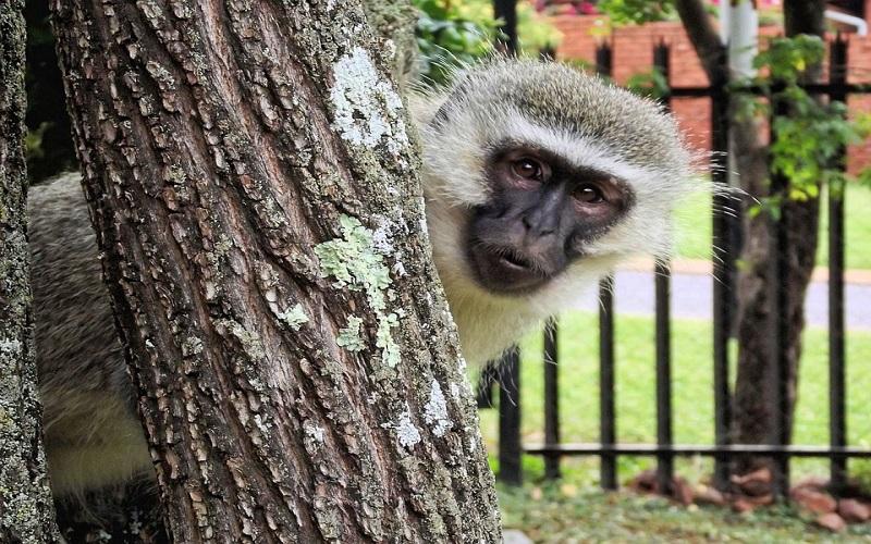 Vervet majmuni
