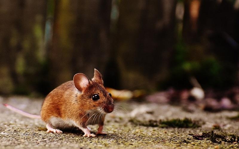Divlje životinje - Miševi