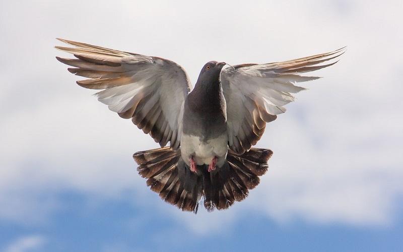 Domaće životinje golubovi