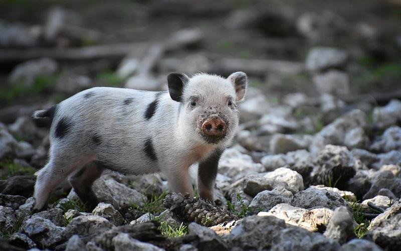Domaće svinje