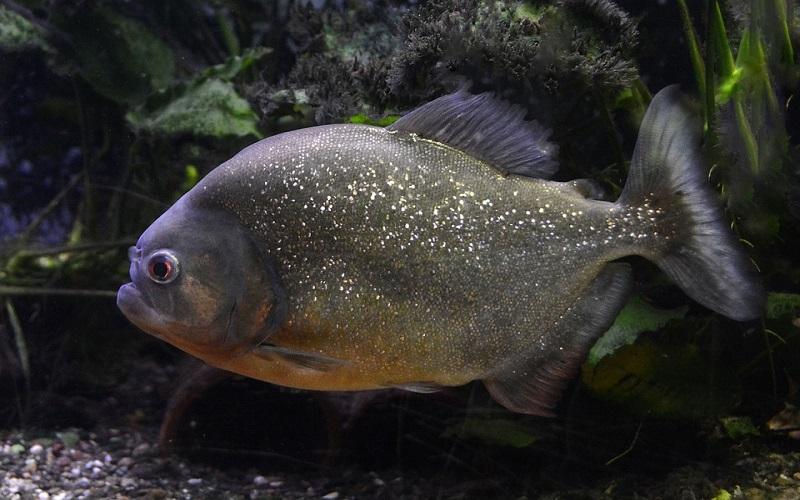 Opasne slatkovodne ribe - Piranja