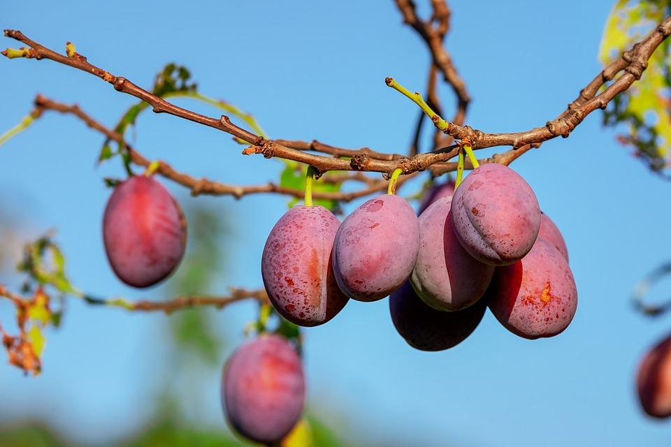 Fotografije voća - Šljive