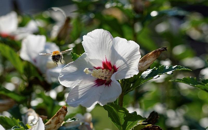 Cvijeće za vrt - Vrtni hibiscus