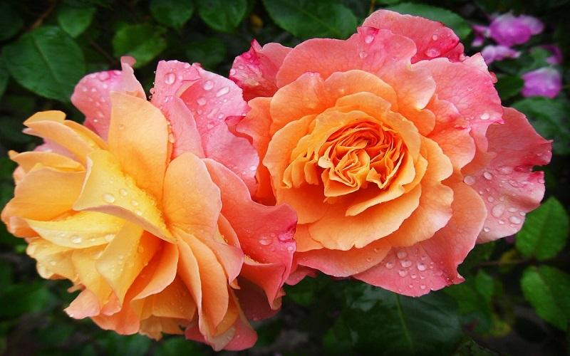 Cvijeće za vrt - Ruže