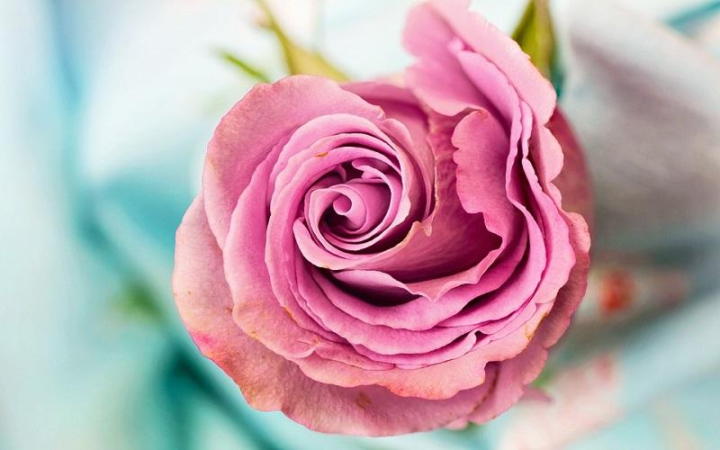 Fotografije za pozadine - Ruže