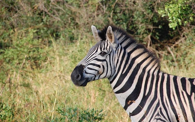 Divlje životinje - Zebre
