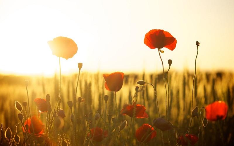 Fotografije cvijeća - mak