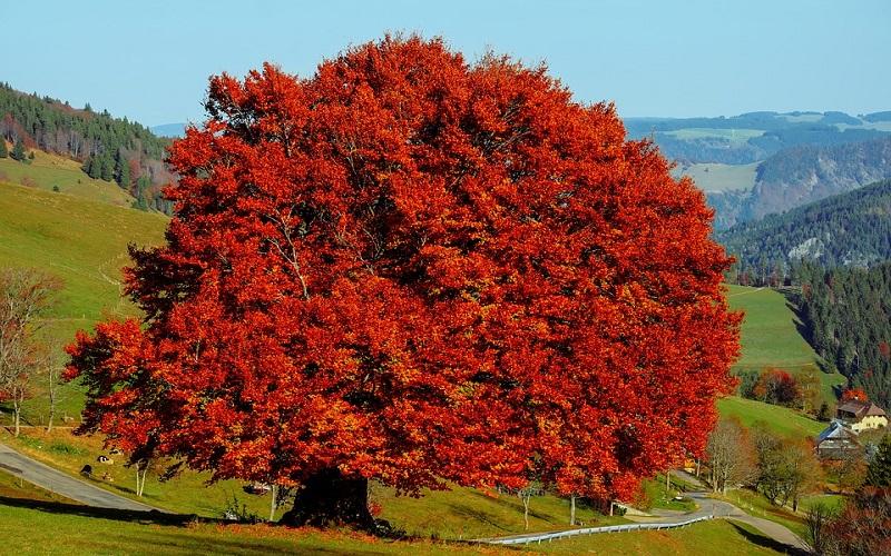 Fotografije drveća - bukva