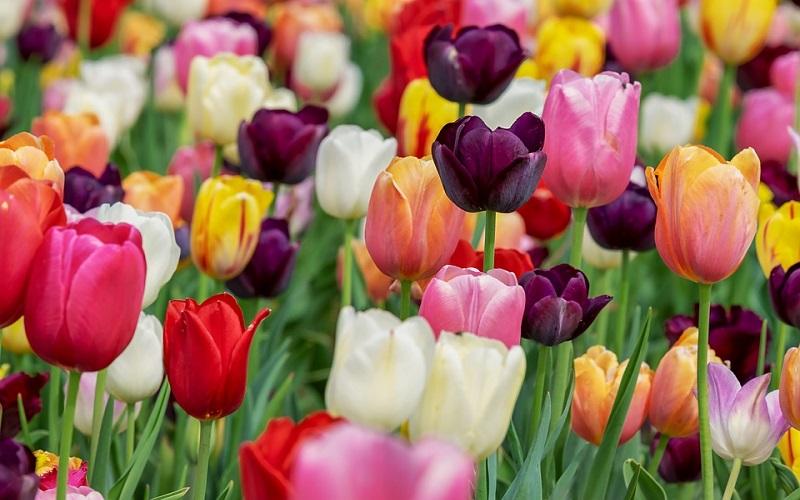 Cvijeće u prirodi - Tulipani