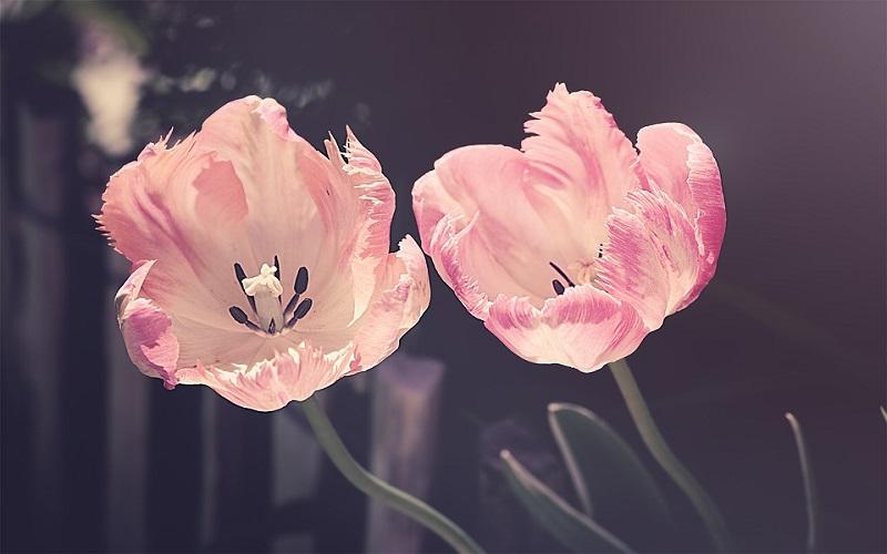 Fotografije cvijeća - tulipani