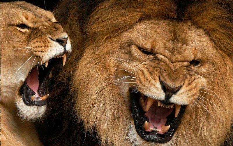 Do navršene druge godine života lavovi ne mogu rikati. Kad odrastu, njihova rika se može čuti i na udaljenosti od 8 kilometara.