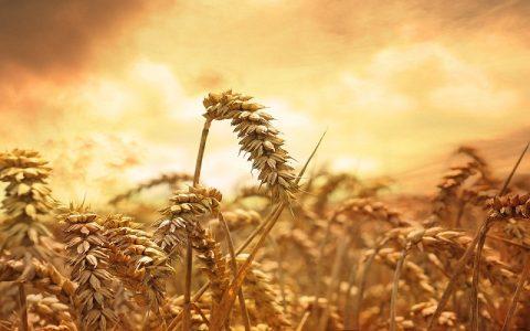 Misteriozni krugovi u žitnim poljima