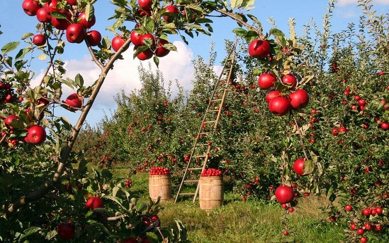 Fotografije voća - jabuke