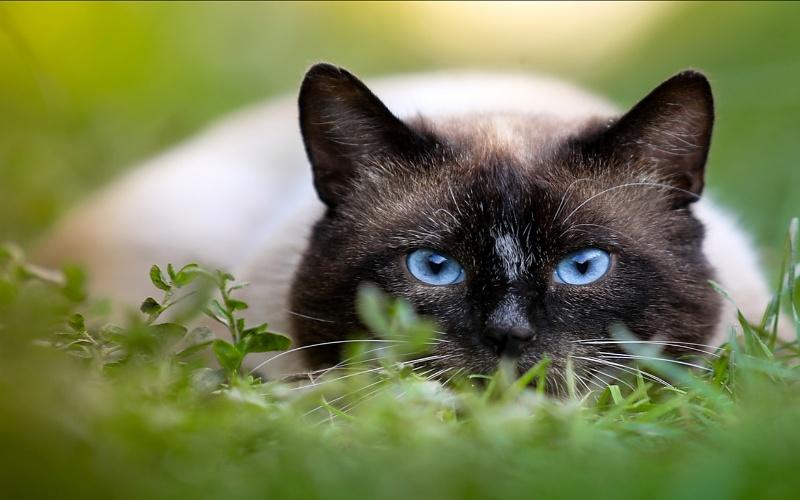 Vrste mačaka - Sijamska mačka