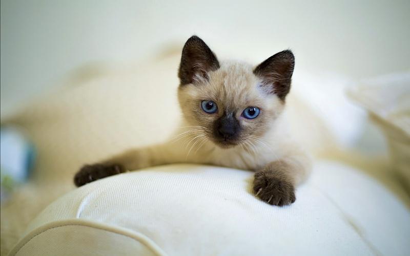 Sijamske mačke