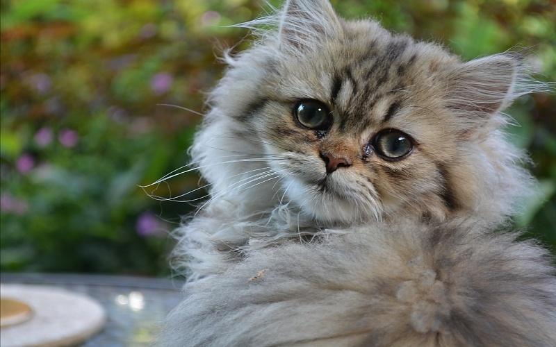 Vrste mačaka - Perzijska mačka