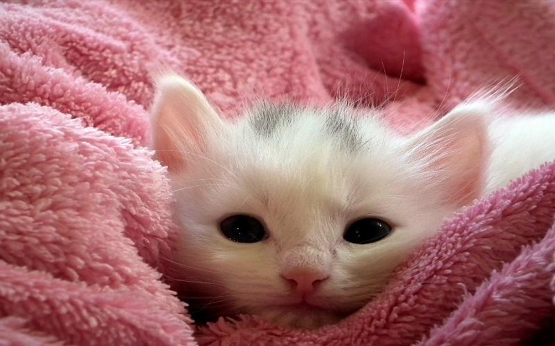 Male sibirske šumske mačke