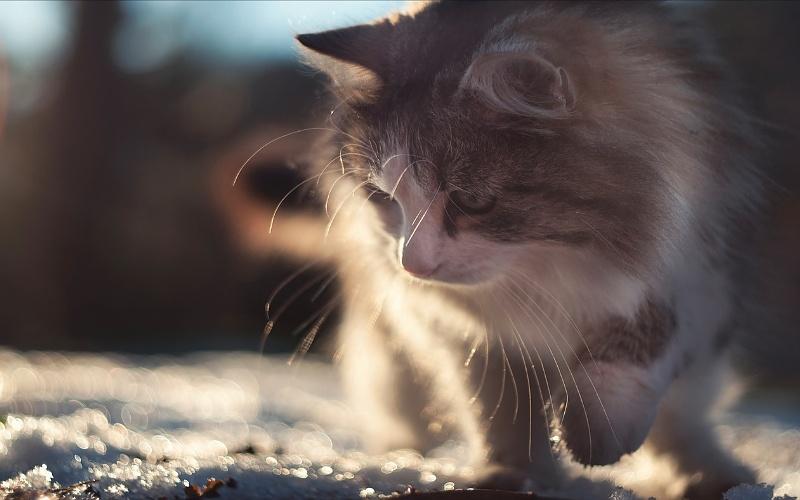 Vrste mačaka - Sibirska mačka