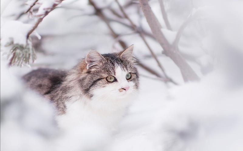 Sibirske šumske mačke