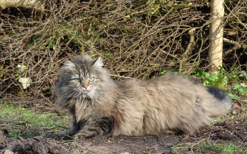 Norveške šumske mačke