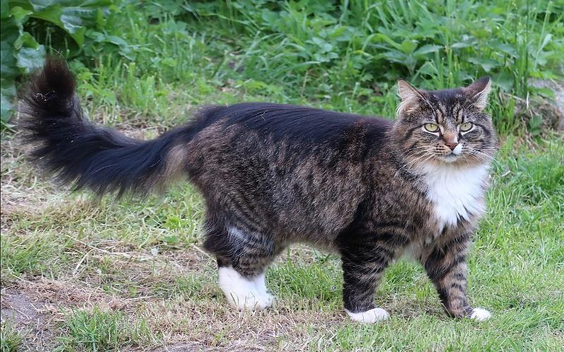Vrste mačaka - Norveška šumska mačka